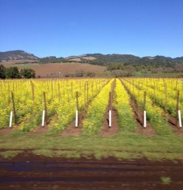 Mustardflower Sonoma