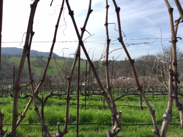 Close up dormant vines at Denner